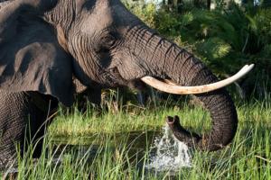Eléphant près de Seba