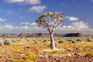 un aloe dichotoma dans le sud namibien