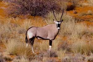 Kalahari oryx